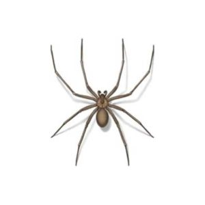 Brown recluse spider identification and control in Virginia - Connor's Termite and Pest Control