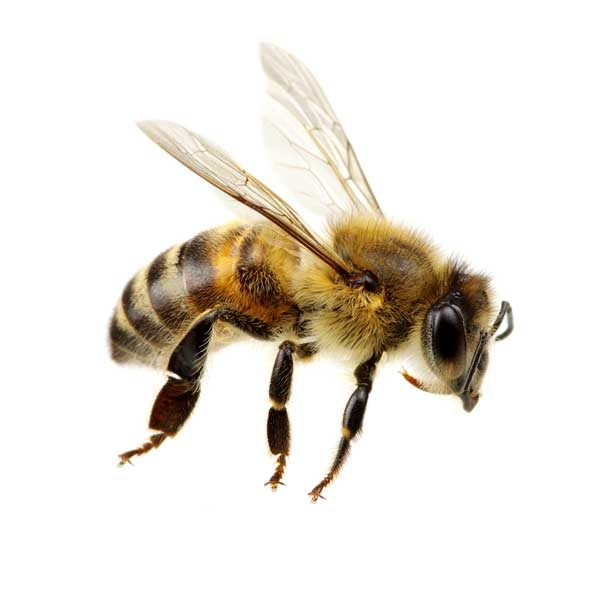Honey bee prevention and control in Fairfax and Alexandria VA - Ehrlich Pest Control, formerly Connor's