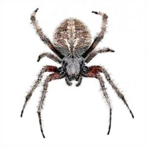 Orb-weaver identification and control in Virginia - Ehrlich Pest Control, formerly Connor's Termite and Pest Control