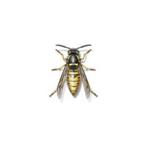 Yellow jacket information and habits in Fairfax and the entire VA area - Connor's Termite & Pest Control