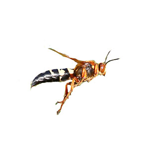 Identification and prevention of cicada killers in Virginia - Ehrlich Pest Control, formerly Connor's Termite and Pest Control